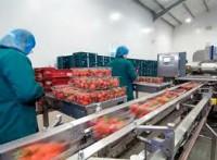 Pakowanie owoców praca Anglia przy produkcji w Wielkiej Brytanii 2014
