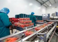 Pilnie dam pracę w Holandii przy pakowaniu owoców i warzyw od zaraz