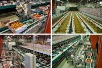 Dam pracę w Danii na linii produkcyjnej przy sortowaniu ziemniaków Ribe