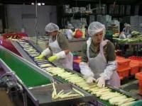 Praca Holandia na linii produkcyjnej w przetwórni warzyw i owoców Waalwijk