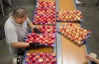 Dam pracę w Anglii od zaraz pakowanie owoców na taśmie produkcyjnej Kent