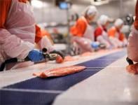Bez języka ogłoszenie pracy w Norwegii produkcja filetowanie łososia Bergen