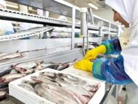 Dam pracę w Danii bez znajomości języka od zaraz Skagen na produkcji w przetwórni ryb
